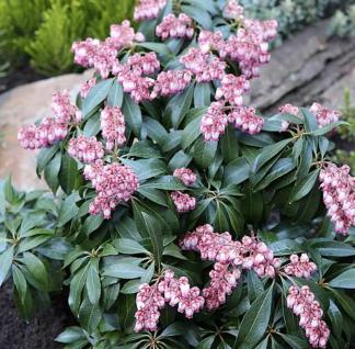 Schattenglöckchen Lavendelheide Katsuta 25-30cm - Pieris japonica - Vorschau