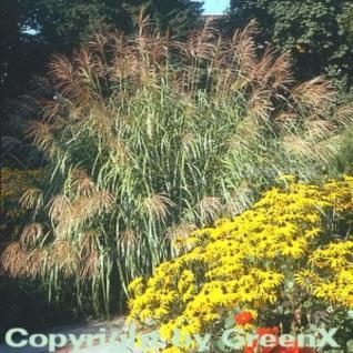 Chinaschilf Rotsilber - Miscanthus sinensis - Vorschau