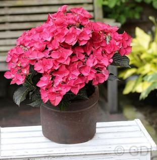 Bauernhortensie Dark Angel 40-60cm - Hydrangea macrophylla - Vorschau