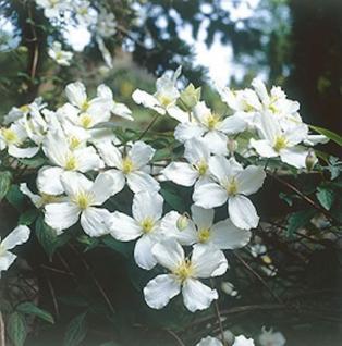 Berg Waldrebe Grandiflora 100-125cm - Clematis montana - Vorschau
