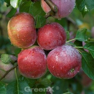 Apfelbaum Liberty 60-80cm - Winterapfel knackig - Vorschau