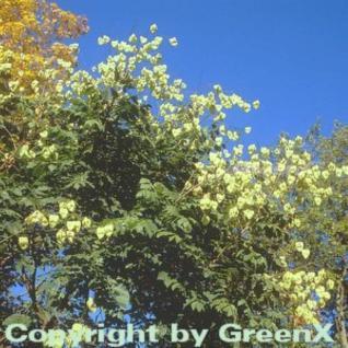 Rispiger Blasenbaum 100-125cm - Koelreuteria paniculata - Vorschau
