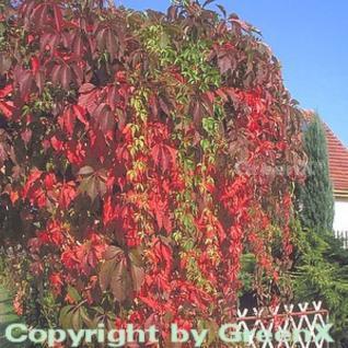 Mauerkatze Engelmann 60-80cm - Parthenocissus quinquefolia - Vorschau