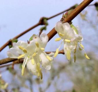 Wohlriechende Heckenkirsche 40-60cm - Lonicera fragrantissima - Vorschau