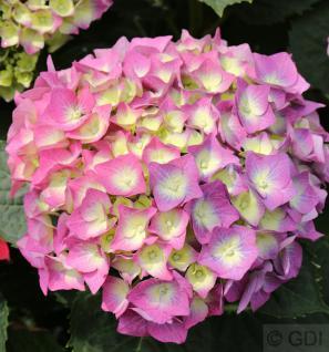 Bauernhortensie Everbloom Blue Wonder® 30-40cm - Hydrangea macrophylla - Vorschau