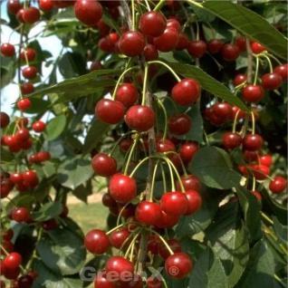 Sauerkirsche Beutelspacher Rexelle 60-80cm - hellrote saure Früchte - Vorschau