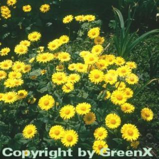 Gemswurz Little Leo - Doronicum orientale - Vorschau