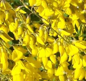 Edelginster Vanessa 60-80cm - Cytisus scoparius - Vorschau