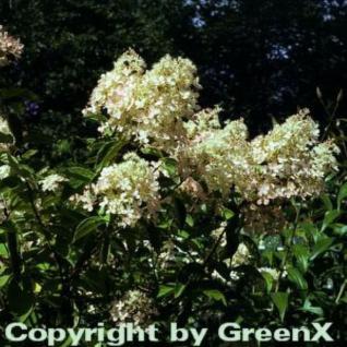 Rispenhortensie Unique 60-80cm - Hydrangea paniculata - Vorschau