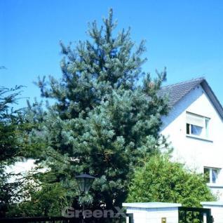 Norwegische Waldkiefer 60-80cm - Pinus sylvestris - Vorschau