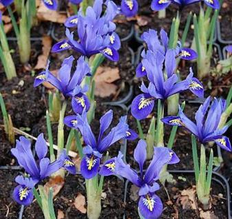 Winteriris Harmony - Iris reticulata - Vorschau