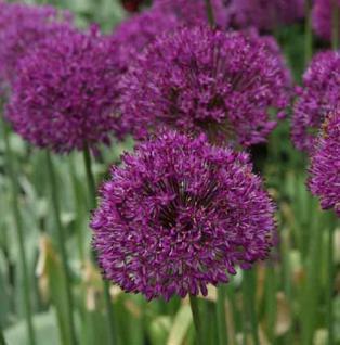 Zierlauch Purple Sensation - Allium aflatunense - Vorschau