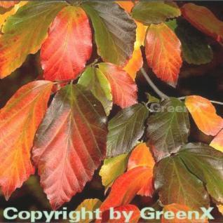 Eisenholzbaum 100-125cm - Parrotia persica - Vorschau
