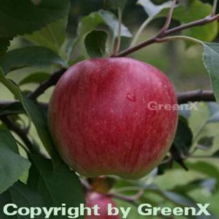 Apfelbaum Reglindis 60-80cm - säuerlich und knackig - Vorschau