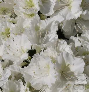 Japanische Azalee Maischnee® 30-40cm - Rhododendron obtusum - Zwerg Alpenrose - Vorschau