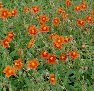 Sonnenröschen Watergate Orange - Helianthemum - Vorschau