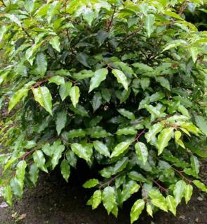 Portugiesische Lorbeerkirsche Angustifolia 30-40cm - Prunus lusitanica - Vorschau