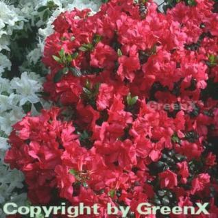 Japanische Azalee Maruschka® 15-20cm - Rhododendron obtusum - Zwerg Alpenrose - Vorschau