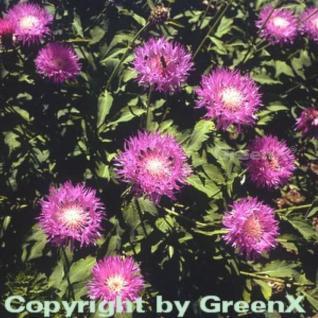 Flockenblume Steenberg - Centaurea dealbata - Vorschau