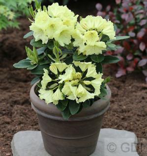 Großblumige Rhododendron Simson 30-40cm - Alpenrose - Vorschau