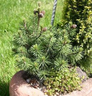 Zwergkiefer Humpy 10-15cm - Pinus mugo - Vorschau