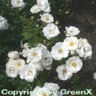 Hochstamm Rose Innocencia 60-80cm - Vorschau