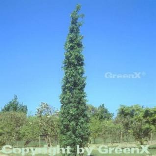 Säulen Eiche Koster 100-125cm - Quercus robur Fastigiata - Vorschau