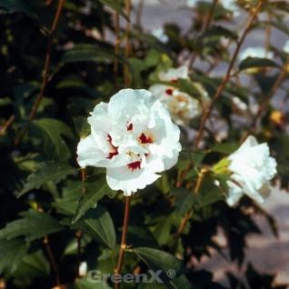 Rosen Eibisch Speciosus 40-60cm - Hibiscus - Vorschau