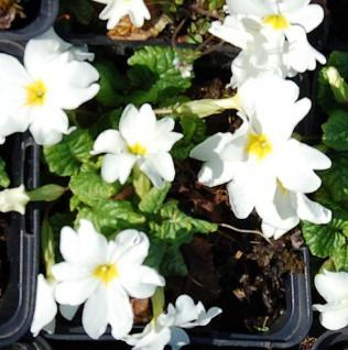 Teppich Primel Snow White - Primula pruhoniciana - Vorschau