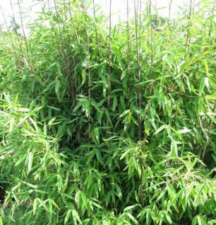 Gartenbambus Winter Joy 80-100cm - Fargesia hybrid - Vorschau