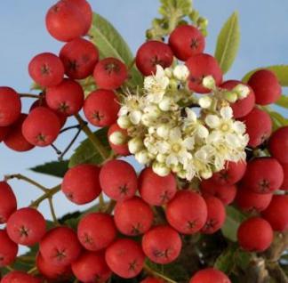 Eßbare Eberesche Rosina 100-125cm - Sorbus aucuparia - Vorschau