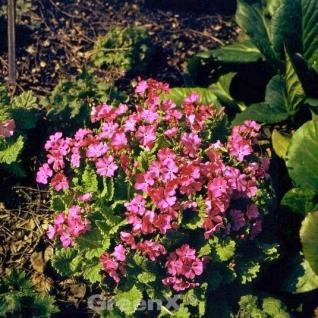 Teppich Primel Amarantrot - Primula pruhoniciana - Vorschau