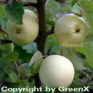 Apfelbaum Weißer Klarapfel 60-80cm - knackig und säuerlich - Vorschau