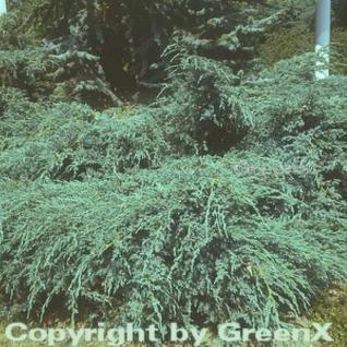 Blauer Teppichwacholder 60-80cm - Juniperus squamata - Vorschau