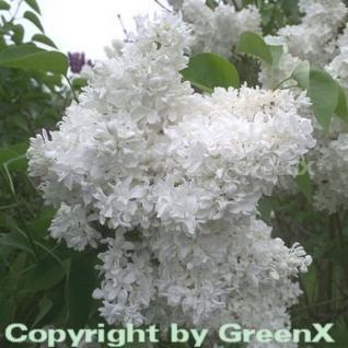 Hochstamm Edelflieder Madame Lemoine 60-80cm - Syringa vulgaris - Vorschau