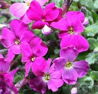 Blaukissen Kitte Rose Red - Aubrieta cultorum - Vorschau