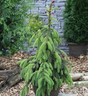 Zapfenfichte Acrocona 70-80cm - Picea abies - Vorschau