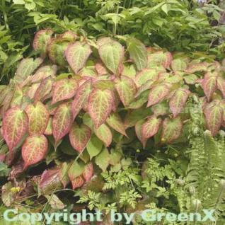 Elfenblume rot - Epimedium rubrum - Vorschau
