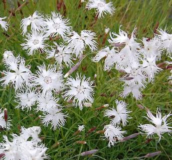 Sandnelke - Dianthus arenarius - Vorschau