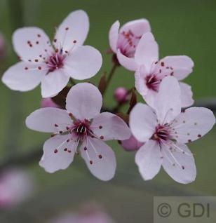 Blutpflaume 125-150cm - Prunus cerasifera - Vorschau