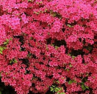 Japanische Azalee Babuschka® 20-25cm - Rhododendron obtusum - Zwerg Alpenrose - Vorschau