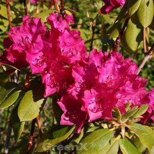 Großblumige Rhododendron Renata 30-40cm - Alpenrose - Vorschau