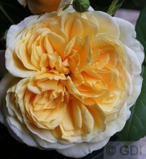 Englische Rose Teasing Georgia® 30-60cm - Vorschau