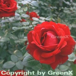 Edelrose Ingrid Bergmann® 30-60cm - Vorschau