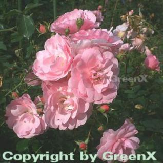 Hochstamm Rose Bonica® 80-100cm - Vorschau