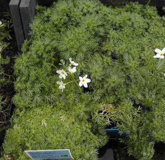Wasserfeder - Hottonia palustris - Vorschau
