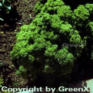 Petersilie Smaragd - Petroselinum crispum - Vorschau