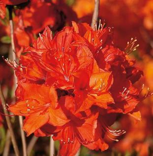Azalee Parkfeuer 40-50cm - Rhododendron luteum - Alpenrose - Vorschau