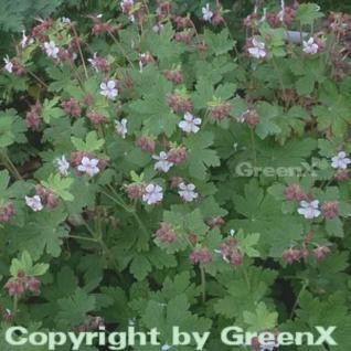Balkanstorchschnabel Spessart - Geranium macrorrhizum - Vorschau