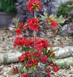 Azalee Nabucco 25-30cm - Rhododendron luteum - Alpenrose - Vorschau